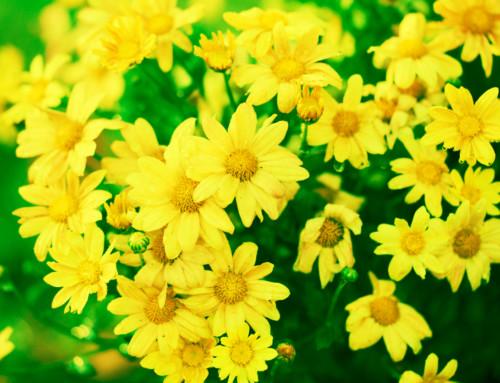 Le Chrysanthellum Americanum : l'allié de votre foie pour les fêtes de fin d'année !